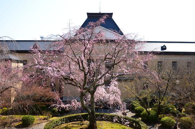 写真: 枝垂れ桜咲く府庁旧館