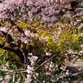 写真: 小彼岸と連翹咲く宗像神社