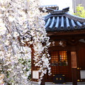 枝垂れ桜の六角堂