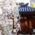 写真: 枝垂れ桜の六角堂