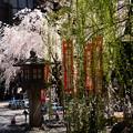 写真: 柳と桜と花嫁さん