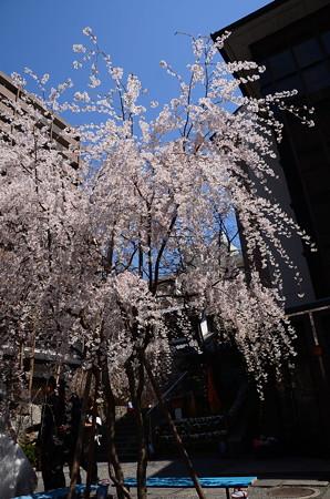六角堂の枝垂れ桜