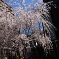 写真: 六角堂の枝垂れ桜