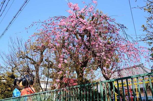 写真: 高倉幼稚園の紅枝垂れ(ベニシダレ)