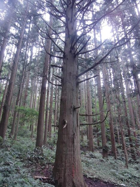 姫神山一本杉