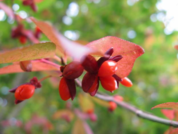 小さな赤い実のコマユミ(小檀弓) IMG_5007