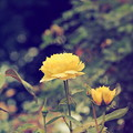Photos: 黄色の薔薇