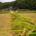 稲刈り1507