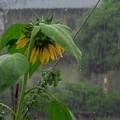 雨&ヒマワリ_5037