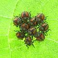 キマダラカメムシ幼虫_5114