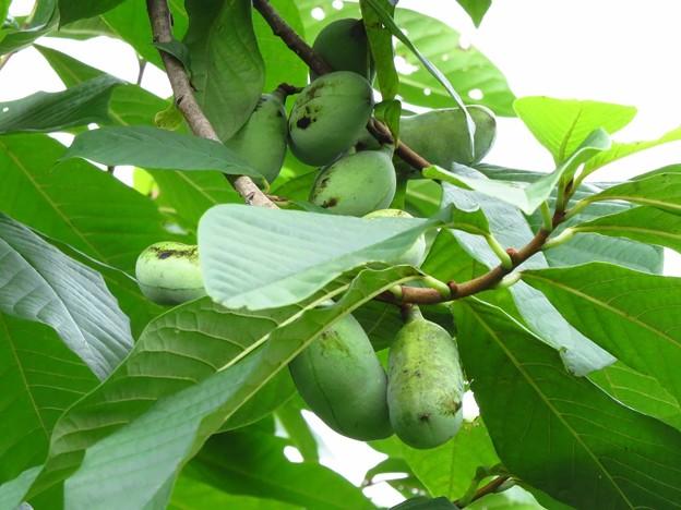フォト蔵ポーポーの実_6118アルバム: 果実、木の実etc2... (104)写真データ大分金太郎さんの友達 (19)フォト蔵ツイート
