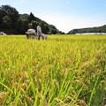 稲刈り_9789