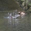 コガモ水浴び_0373