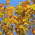 トチノキの黄葉_0583