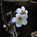 豊後梅開花表裏_2136