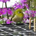 メジロ&西洋桜草_9346