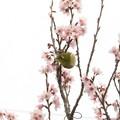 彼岸桜メジロ_0736