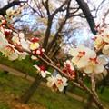 Photos: 偕楽園梅