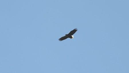 支笏湖上空オジロワシが優雅に旋回中!