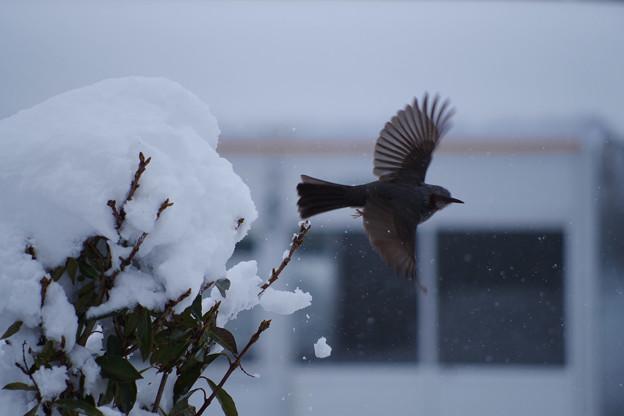 Photos: 豪雪でも元気