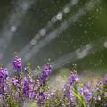 Photos: 160812_山梨県立フラワーセンター「ハイジの村」_散水<?>_F812A9781_MZD300P_X6As