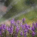 Photos: 160812_山梨県立フラワーセンター「ハイジの村」_散水<?>_F812A9865_MZD300P_X6As