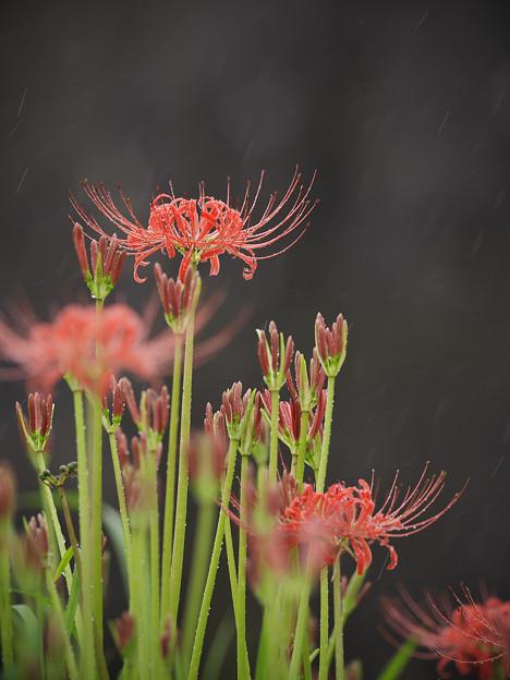 160919_伊勢原・日向_降雨<ヒガンバナ>_F919B3613_MZD300P_X7As