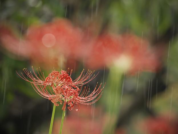 160925_茅ヶ崎・芹沢(柿の木畑)_降雨<ヒガンバナ>_F925B4150_MZD300P_X7As