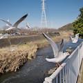 Photos: 170118_藤沢・引地川親水公園_羽ばたき<ユリカモメ>_G170118A8686_MZD12ZP_X7Ss