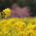 寒咲花菜と河津桜
