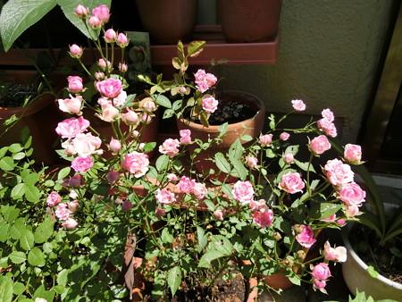 満開のミニバラ・ピンク