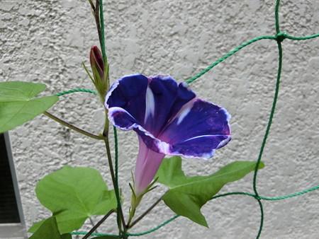 朝顔の花と蕾