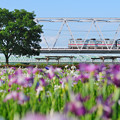 通勤電車と菖蒲の花