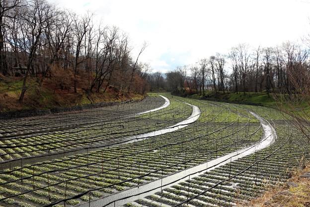 広大な敷地に湧水をたたえるワサビ農場