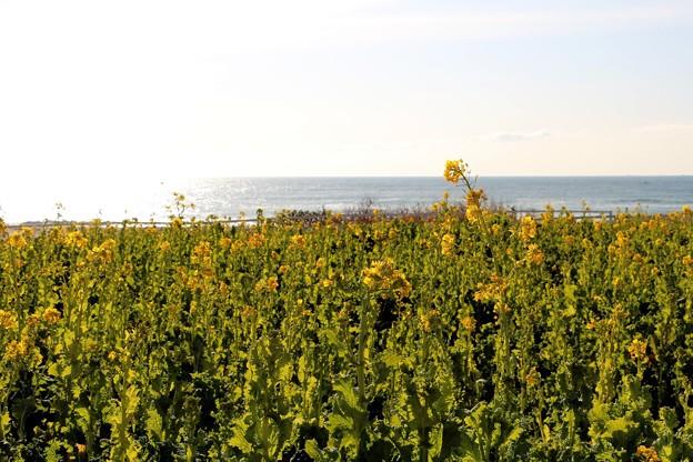菜の花と太平洋