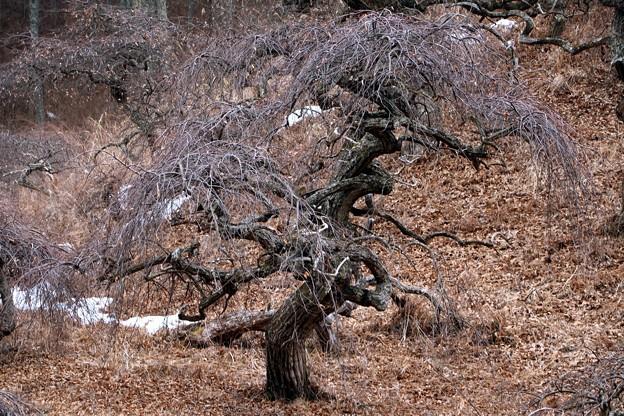 しだれ栗の巨木