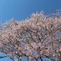 咲き誇る今水桜