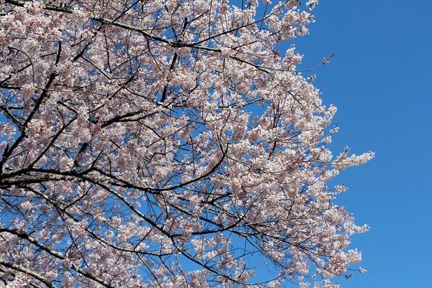 満開の今水桜