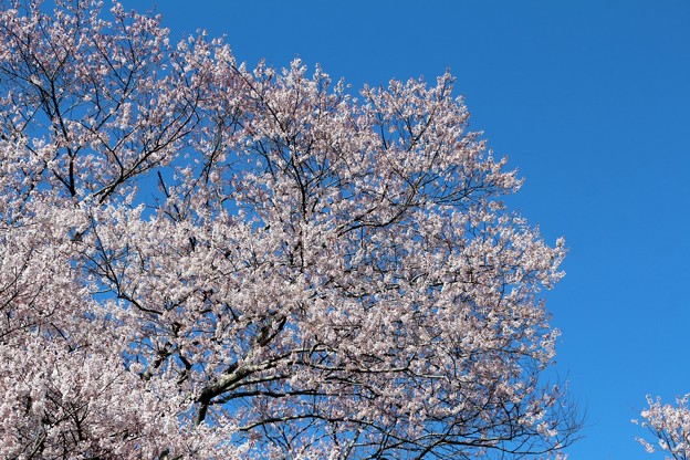 空に向かって咲く桜
