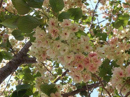 鬱金桜  5月1日