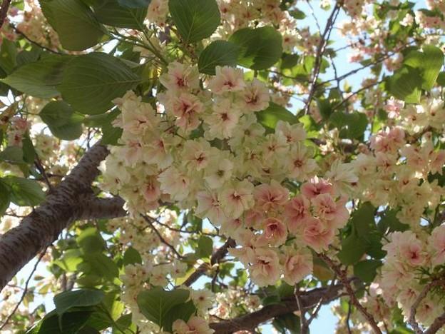 Photos: 鬱金桜  5月1日