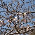 Photos: 17年4月3日の桜2