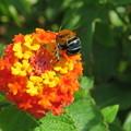 アオスジフトハナバチ