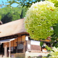 Photos: 真夏のアジサイ