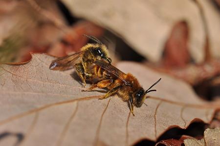 ヒメハナバチの仲間
