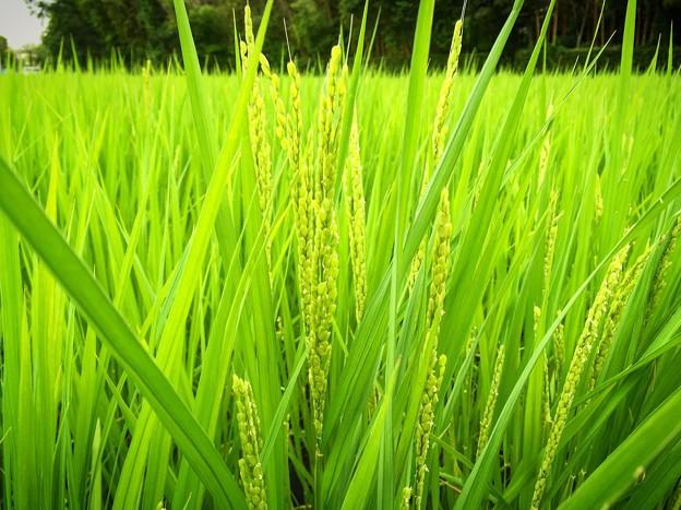 Beautiful Rice Country♪