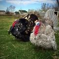写真: Turkeys♪