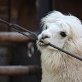 写真: アルパカが鉄棒はむはむ