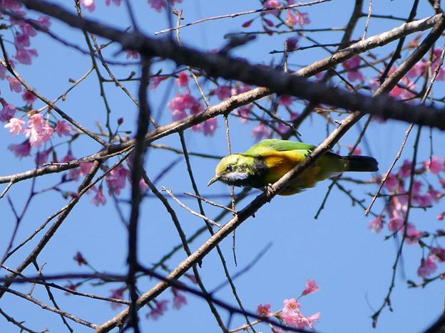 写真: アカハラコノハドリ(Orange_bellied Leafbird) P1070093_RS