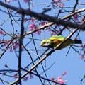 Photos: アカハラコノハドリ(Orange_bellied Leafbird) P1070093_RS